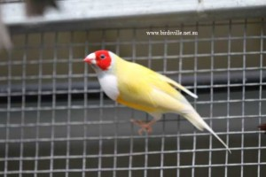 yellow backed gouldian for sale sydney