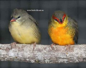 orange breast finches
