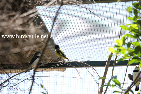 Black headed siskin