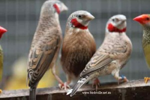 cut throat finches