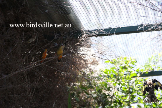 Orange Breast Finch