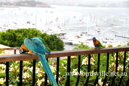 blue and gold macaw for sale sydney