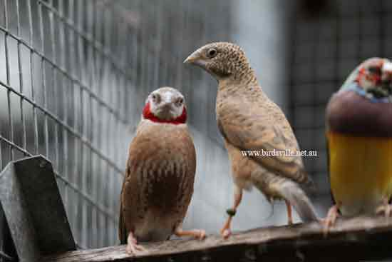 Male and female cut-throat finch