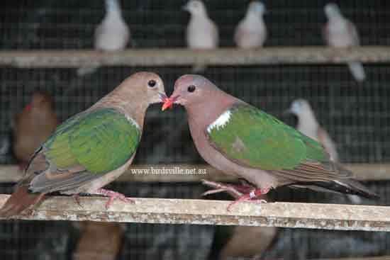 Doves For Sale >> Dove Information Birdsville