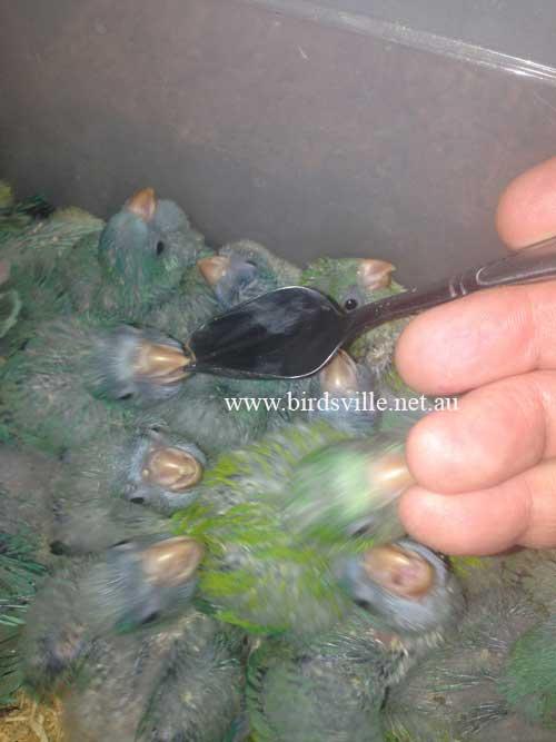 Hand Raised Quaker Parrot for Sale | Birdsville