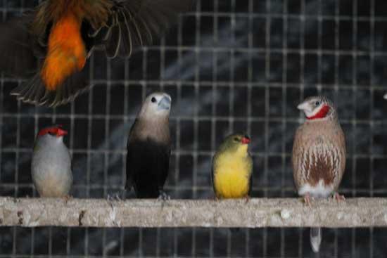 Finches For Sale Birdsville Bird Shop Sydney