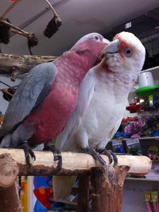 hand raised galah's