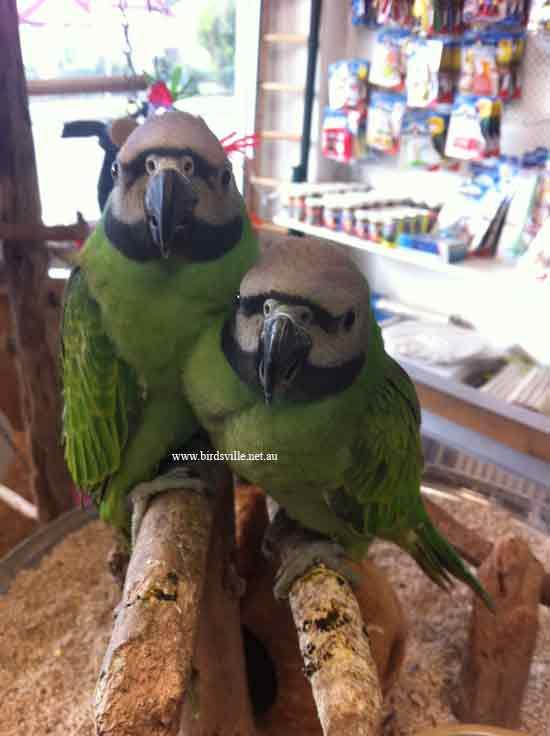 Hand Raised Moustache Parrot Information   Birdsville