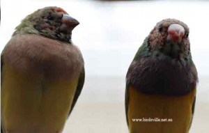 juvinile gouldian finches