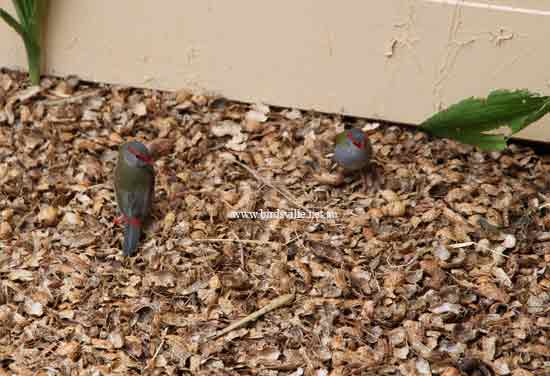 red browed finch fro sale sydney