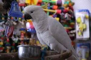 Hand Raised Sulphur Crested Cockatoo