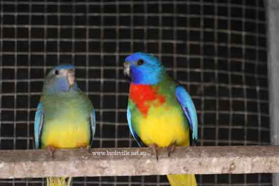 scarlet chested parrot pair