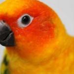Medium Birds (Lorikeets, Quakers, Large Conures, Ringneck, Caiques)