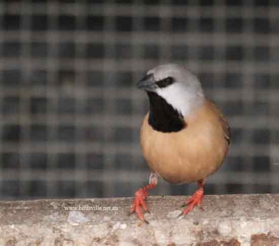 Black throat finch
