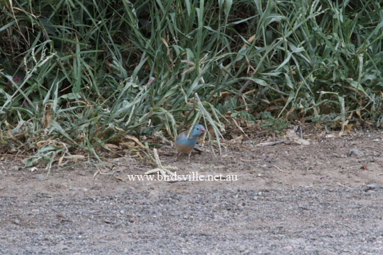 Blue Cap Finch