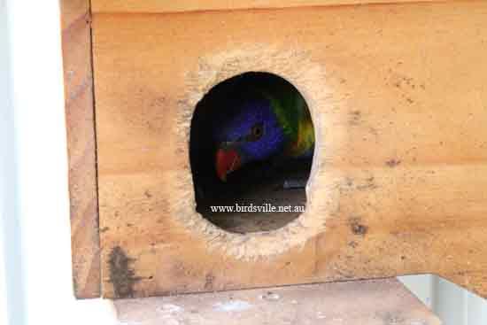 breeding rainbow lorikeet