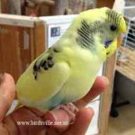 Small Birds (Budgies, Finches, Lovebird, Canaries