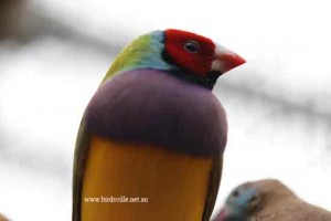 red headed gouldian for sale sydney
