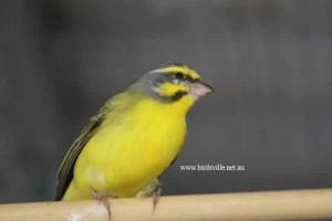 green singer breeder sydney