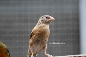 Hen cut-throat finch