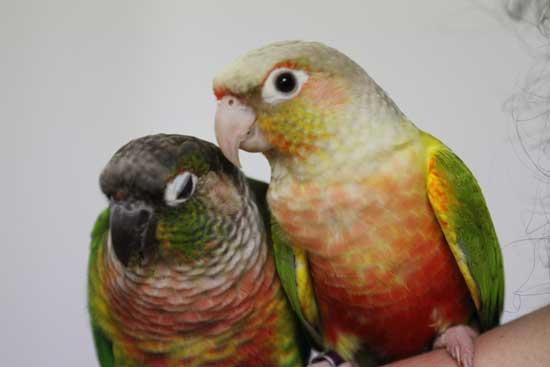Hand Raised Green Cheek Conure for sale | Birdsville - photo#35
