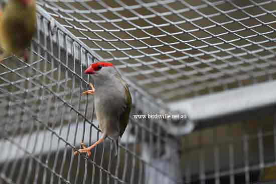 red browed finch for sale sydney