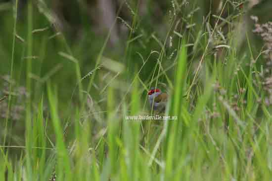 red browed finch sydney