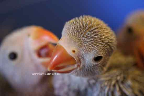baby indian ringneck parrot's