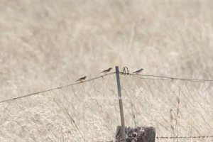 Wild Zebra Finches