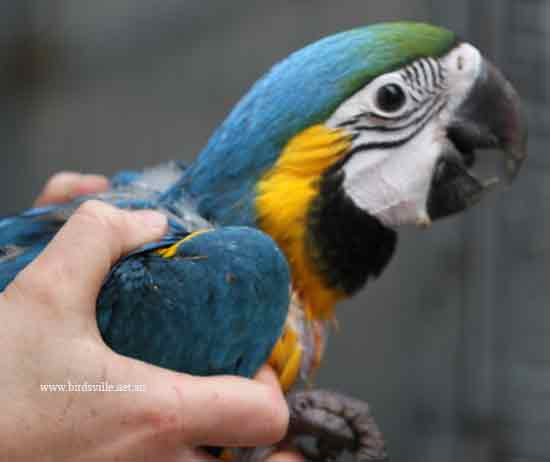 Hand reared blue and gold macaw Information