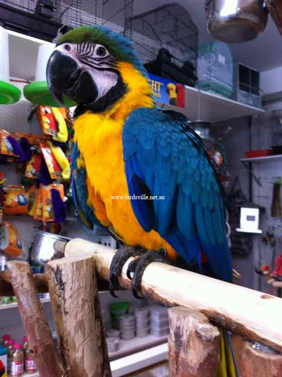 hand raised blue and gold macaw