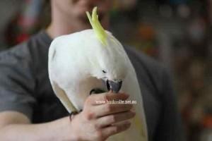 Hand Raised Sulphur Crested Cockatoo