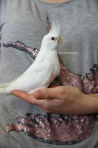 Hand Raised Albino Cockatiel