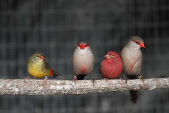 Exotic Finches For Sale Birdsville Bird Shop Sydney