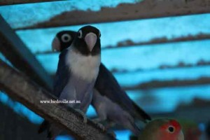 Masked Lovebird For Sale Sydney | Birdsville