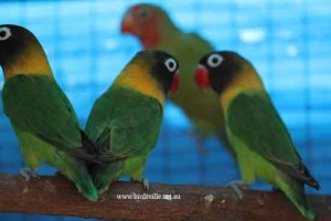 green masked lovebirds