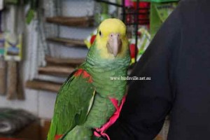 Double Yellow Headed Amazon on a Harness