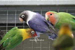 2 masked lovebirds