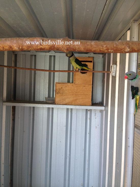 Malabar Parrot