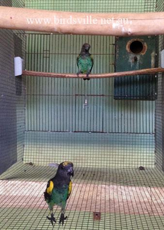 Meyer S Parrot Birdsville Bird Shop Sydney