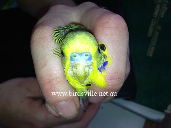 Bird Health Amp Recommended Sydney Vets Birdsville Bird