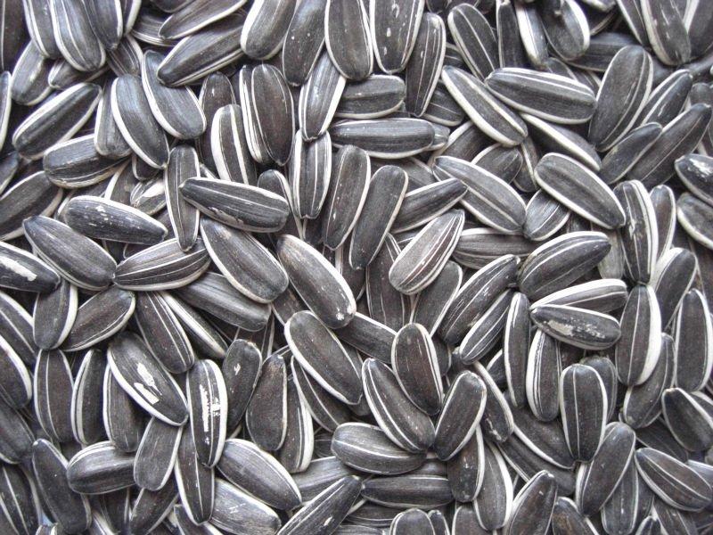Avigrain - Grey Striped Sunflower