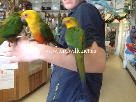Hand Raised Jenday Conure